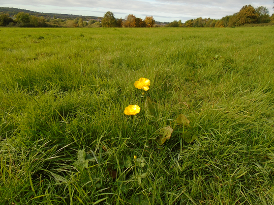 Buttercup on Ipsley Meadow